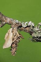 Bagworm moth (Psychidae), Caterpillar, Sinton, Coastal Bend, Texas, USA