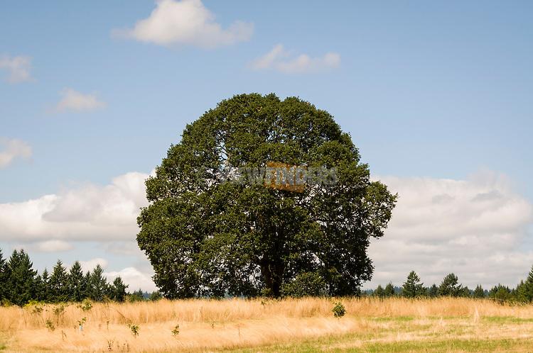Large oak tree at Graham Oaks Nature Park.
