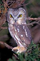 Saw-whet Owl in Hammonassett State Park Connecticut