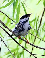 Male blackpoll warbler