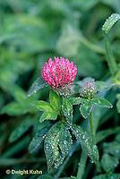 PZ02-003b  Red Clover - Trifolium pratense