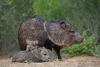650520326 wild javelinas or collared peccaries dicolytes tajacu forage near a waterhole on santa clara ranch in starr county rio grande valley texas united states