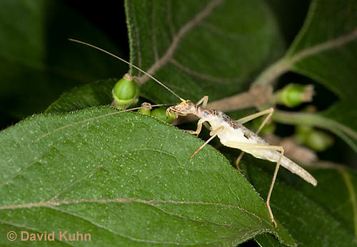 0816-0902  Two-spotted tree cricket, Neoxabea bipunctata © David Kuhn/Dwight Kuhn Photography