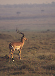 Impala buck eyeing his territory early morning on the Masai Mara, Kenya, Africa.<br />