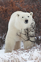 Polar Bear (ursus maritimus) standing amongst some brush near Seal River, Manitoba, Canada