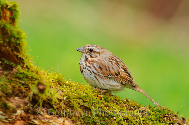 Adult Song Sparrow (Melospiza melodia) of the Eastern subspecies M. m. melodia. Tompkins County, New York. April.