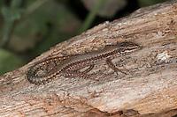 Mauereidechse, Mauer-Eidechse, Podarcis muralis, Lacerta muralis, common wall lizard
