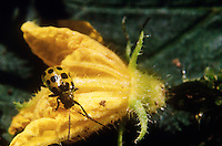 INSECTS.Spotted Cucumber Beetles.Diabrotica undecimpunctata howardi