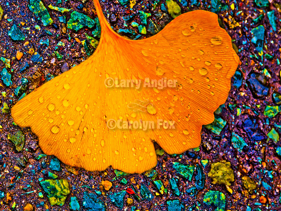 Golden ginkgo leaf in the street during autumn, Peek Hill, Jackson