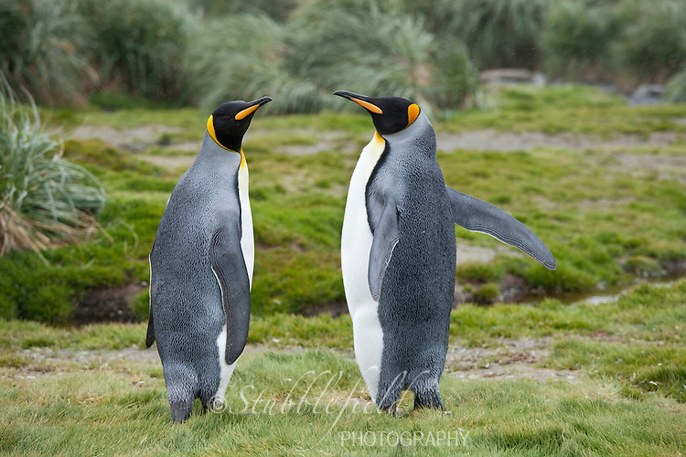 King Penguin (Aptenodytes patagonicus patagonicus) adults near Salisbury Plain, South Georgia Island.