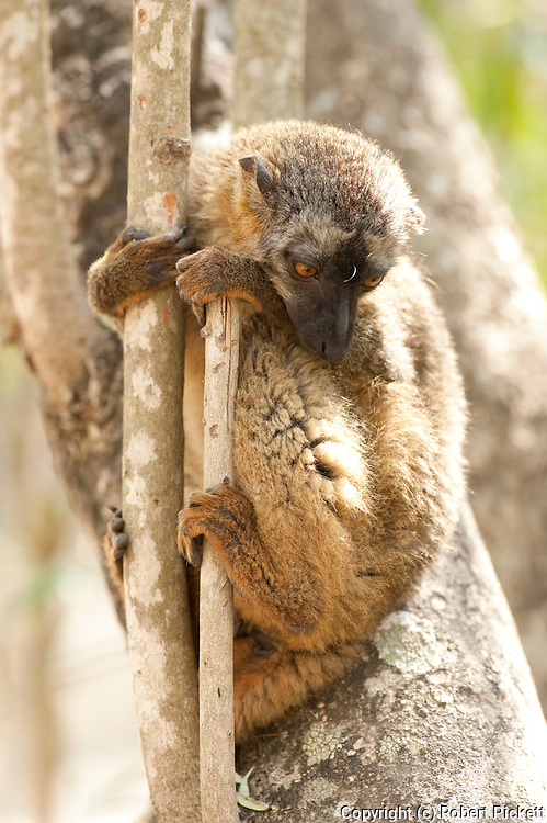 Red Fronted Lemur, Eulemur rufifrons, female, Isalo National Park, Madagascar, Near Threatened on the IUCN Red List and is listed on Appendix I of CITES