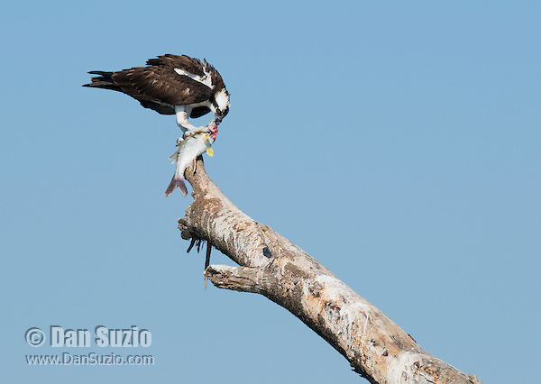 Osprey, Pandion haliaetus, eating fish. Tarcoles River, Costa Rica