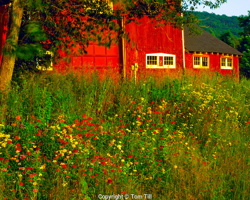 Summer Wildflowers & Barn at Sunset, Housatonic River, Appalachian Mountains, Connecticut