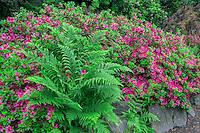 ORPTC_D150 - USA, Oregon, Portland, Crystal Springs Rhododendron Garden, Blooming azalea and bracken fern.