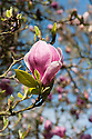 Magnolia x soulangeana in flower, early April.