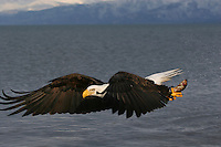 A Bald Eagle (Haliaeetus leucocephalus) sweeps over the sea, searching for food.  Kenai Peninsula, Alaska