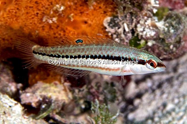 Halichoeres bivittatus, Slippery dick, juvenile, Florida Keys