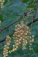 Weiße Johannisbeere, Weiße Garten-Johannisbeere, Johannis-Beere, Reife Früchte, Kulturform, Ribes rubrum var. domesticum, White Currant