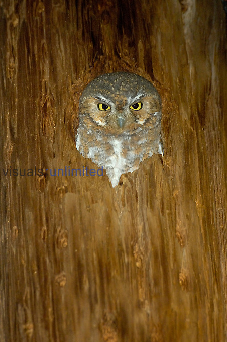 Elf Owl (Micrathene whitneyi) in tree hole, Arizona, USA