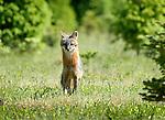 Mother Red Fox, Lycoming County, PA