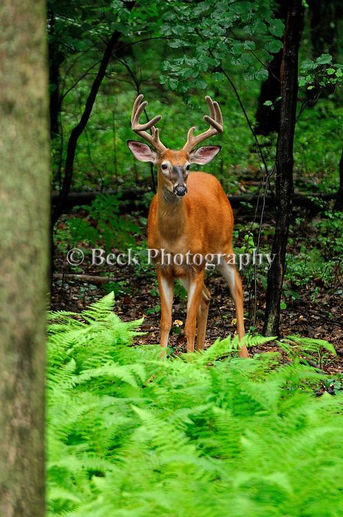 Whitetail buck in velvet in PA