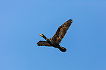 An adult Double Crested Cormorant, Phalacrocorax auritus, in flight in Utah, USA.