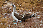 Blue-footed Boobys have mated and the female is preparing to settle into the nest and the male strutting with his head and tail in the air seemingly all proud of himself. Might add that the actual act of mating takes seconds and is somewhat anti-climatic after the very long mating process.