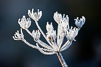 Hoar frost on cow parsley, The Cotswolds, Oxfordshire, United Kingdom