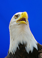Closeup shot of a captive bald eagle used in a zoo education program. Little Rock, Arkansas, Zoo.