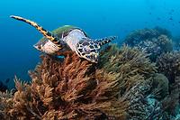 Hawksbill turtle, Eretmochelys imbricata, Komodo National Park, Nusa Tenggara, Indonesia, Pacific Ocean