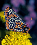 Baltimore Checkerspot Butterfly - Euphydryas phaetonBaltimore Checkerspot Butterfly - Euphydryas phaeton, butterfly, insect