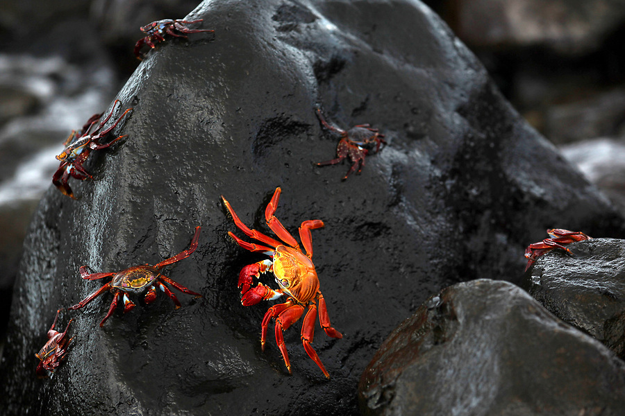 Sally Lightfoot crabs scuttle around on a volcanic rock on Isabela Island. While the adult crabs are brightly colored, young crabs are very dark and camouflage well on the lava rocks.