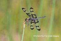 06580-00214 Banded Pennant (Celithemis fasciata) male Washinton Co. MO