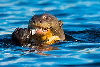 giant otter, or giant river otter, Pteronura brasiliensis, feeding on a fish, endangered species, Anangu Creek, Napo Wildlife Center, Yasuni National Park, Ecuador