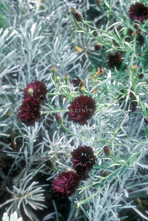 Centaurea cyanus 'Black Ball' with dark purple flowers