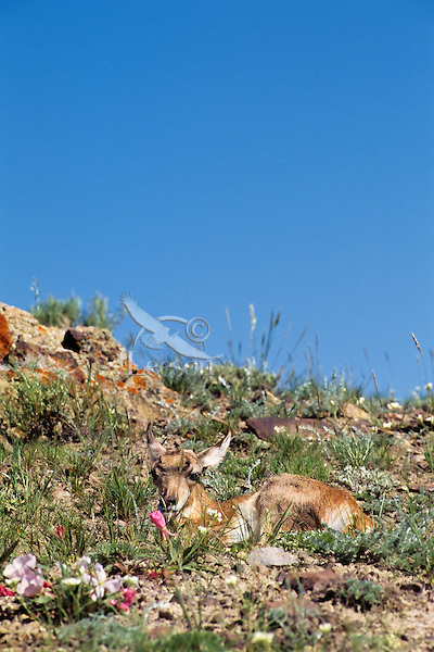 Young Pronghorn Antelope (Antiloapra americana) fawn resting while mom is away feeding.  Western U.S., June.  Young fawns spend much of their first couple weeks of life lying on the ground while mom (usually within sight though that maybe upto a 1/2 mile away) feeds and rests.  Their best protection against predators at this stage in their lives is going undetected.