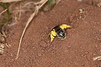 Furchenbiene, am Nest im Erdboden, Bodennest, mit Pollen beladen, Pollenhöschen, Schmalbiene, Furchen-Biene, Schmal-Biene, Lasioglossum spec., sweat bee, European halictid bee, Furchenbienen, Schmalbienen