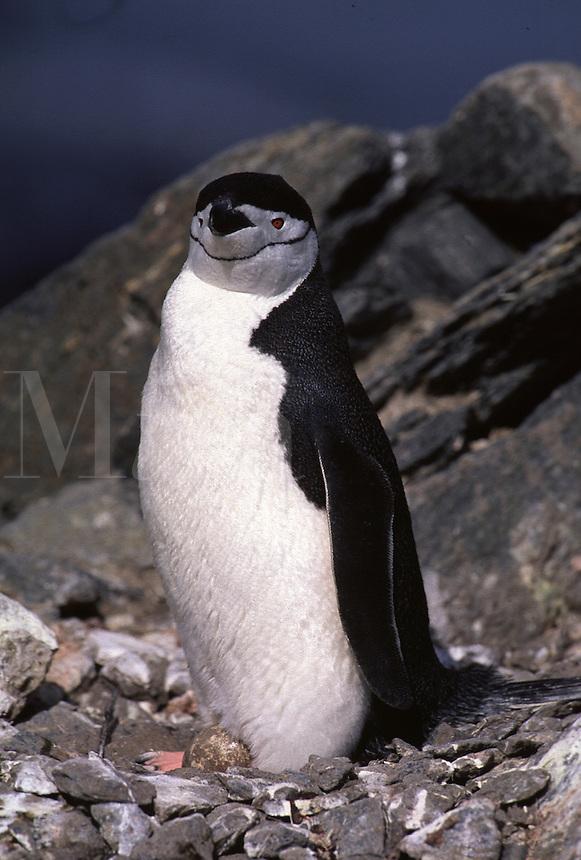 Chinstrap Penguin Pygoscelis antarctica. Elephant Island Antarctica.