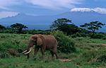 Elephant devant le massif du Kilimandjaro (5895 m). Le sommet enneige est le Kibo, a gauche, le sommet du Mawenzi (5185 m). Parc d Amboseli. Kenya.