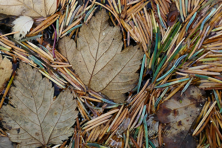 Maple leaves, larch needles floating on a pond.