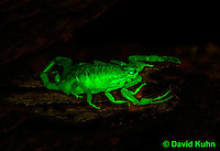 1122-0805  Bark Scorpion, Centruroides exilicauda © David Kuhn/Dwight Kuhn Photography