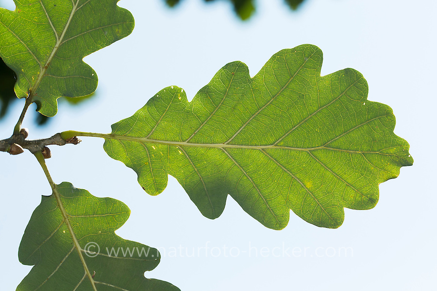 Trauben-Eiche, Traubeneiche, Wintereiche, Eiche, Eichen, Blatt, Blätter, Quercus petraea, Quercus sessilis, Quercus sessiliflora, Sessile oak, Cornish oak, Durmast oak, oak, oakes, leaf, leaves