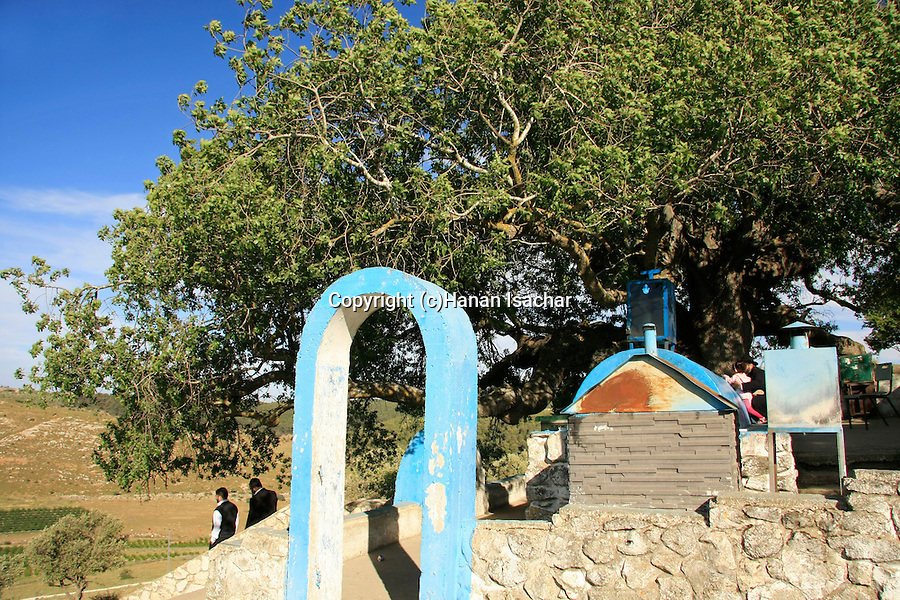 Israel, Upper Galilee, Atlantic Pistachio (Pistacia Atlantica) tree by the tomb of Rabbi Tarfon in Kadita..