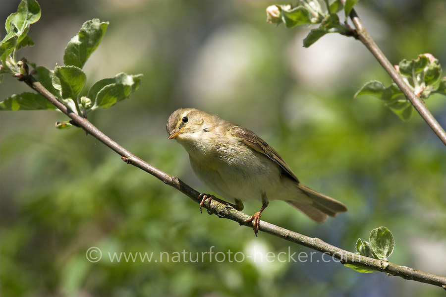 Fitis, Fitis-Laubsänger, Phylloscopus trochilus, Willow Warbler, Pouillot fitis