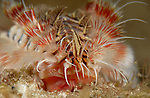Red Tipped Fireworm,Chloeia viridis