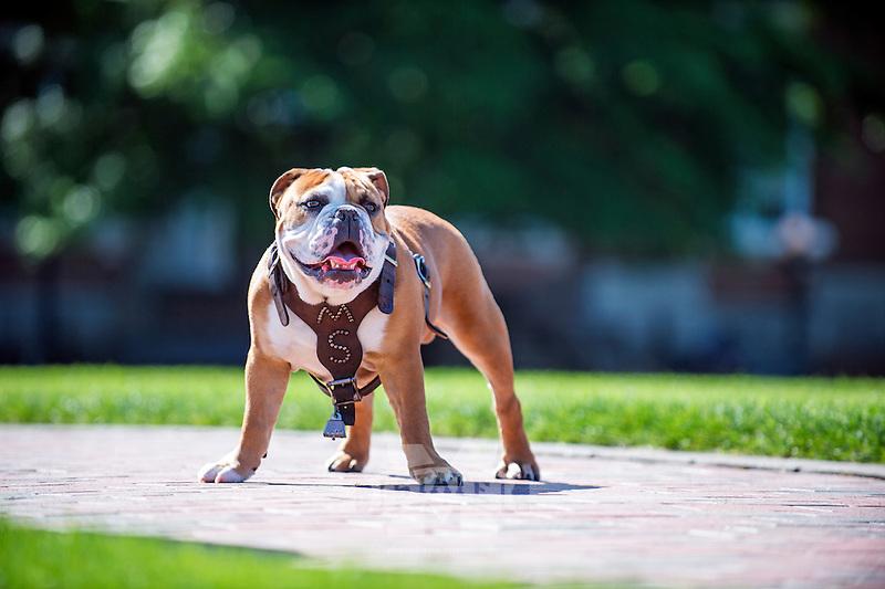 Bully XXI, Jak, posing on the brick sidewalk of the Drill Field. (photo by Beth Wynn / © Mississippi State University)