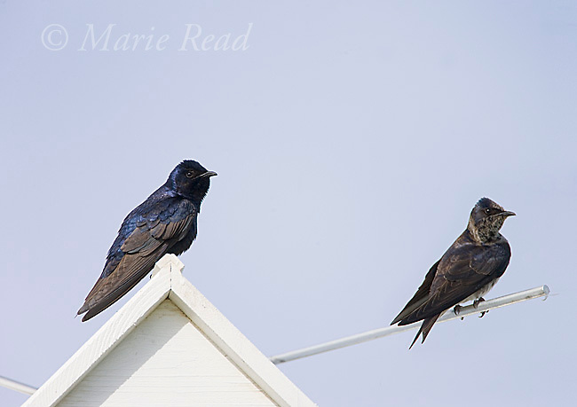 Purple Martins (Progne subis) male (L) and female (R), Montezuma National Wildlife Refuge, New York, USA