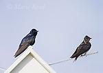 Purple Martins (Progne subis) male (L) and female (R), Montezuma National Wildlife Refuge, New York, USA