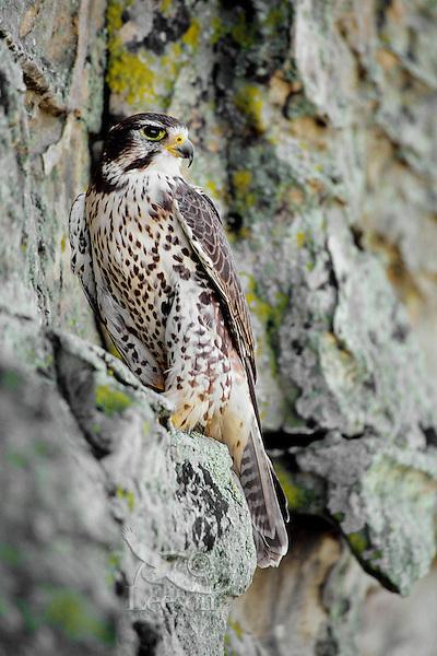 Prairie Falcon (Falco mexicanus) sitting on cliff face.  Western U.S.