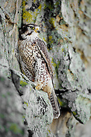Prairie Falcon (Falco mexicanus) sitting on cliff face.  Western U.S.